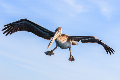 A pelican in flight over the water in Long Beach, California.