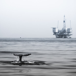 A Gray Whale shows its flukes in the waters of Long Beach, California.  In the distance is a large rig.