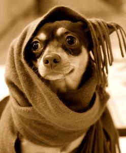 A chihuahua wears a scarf like a hood.