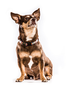 A chihuahua poses for a formal portrait.