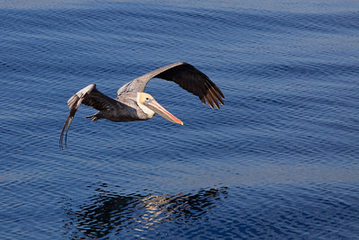 A pelican flies over the water in Long Beach, California.