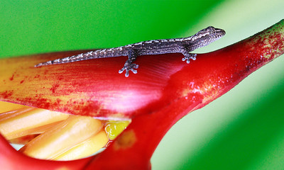 A lizard clings to a plant in Costa Rica.