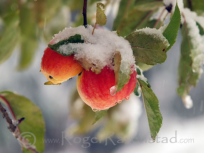 Sierra Apples Image I.D. #:  M-10-###