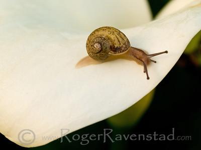 Snail on a Calla Lily Image I.D. #:  V-09-002