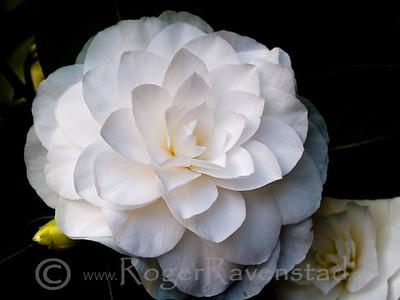 Nanchez White Camellia Image I.D. #:  V-09-001