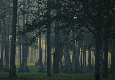 Early morning sun streaming through foggy wooded area with grassy floor in South Florida, United States. Vegetation includes cypress trees and palmettos