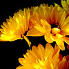 A bouquet of fresh, bright yellow daisies on a black background with copy space right side of horizontal composition.