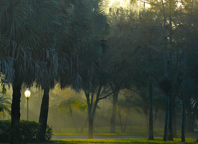 Early morning sun streaming through foggy wooded area with grassy floor in South Florida, United States. Vegetation includes cypress trees and palmettos. There is a street lamp that appears to be lit