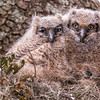 Great Horned Owlets with half eaten rat brought by parents