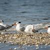 Royal Terns on sandbar in Charleston Harbor