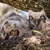 Pair of nestling Great Horned Owlets