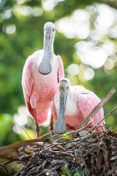 Breeding Pair of Roseate Spoonbills on nest