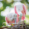 Breeding Pair of Roseate Spoonbills