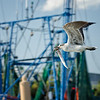 Juvenile Laughing Gull with eel in Shem Creek