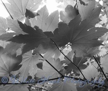 vine Maple in Black and White