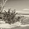 Barnacle encrusted roots and ocean foam, Hunting Island State Park, SC