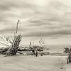 Hunting Island Boneyard Beach high resolution Panorama, sepia
