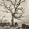 Beauty in decay, Hunting Island Boneyard Beach, Beaufort, SC
