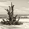 Barnacle encrusted roots, Hunting Island State Park, SC
