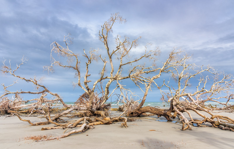 Skeletal Remains of Maritime Forest, Hunting Island State Park, Beaufort, SC