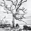 Beauty in Decay, Hunting Island Boneyard Beach, black and white