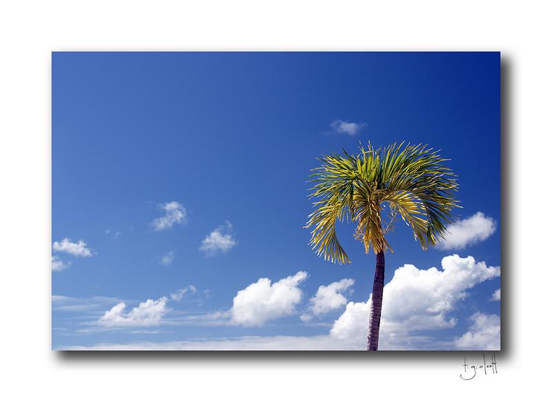 Palm Tree, Philipsburg, Sint Maarten