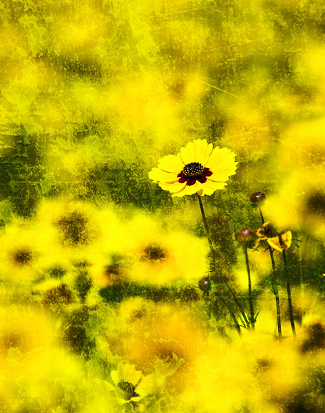 Coreopsis Basalis with distressed paper technique