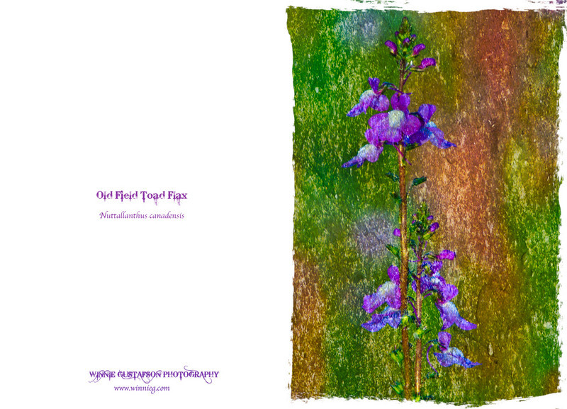 Old Field Toadflax landscape