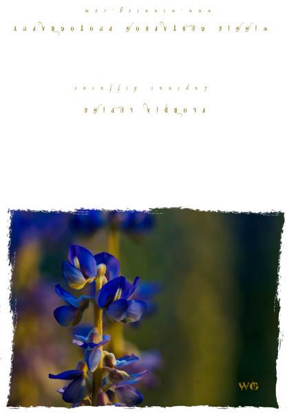 Florida Lupine landscape card