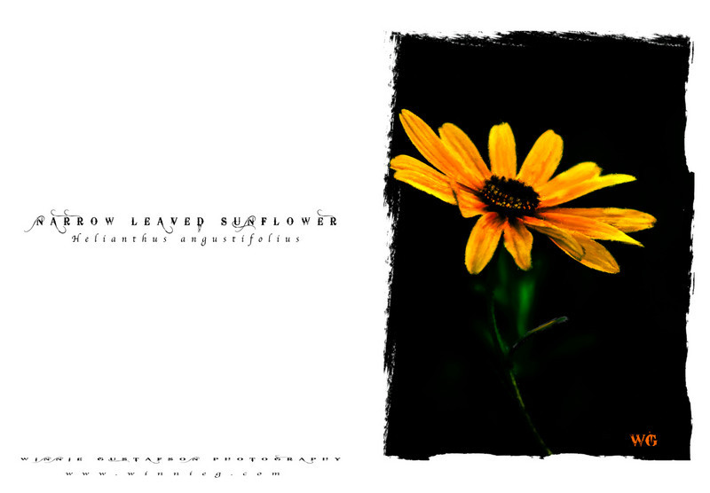 sunflower card stock 2