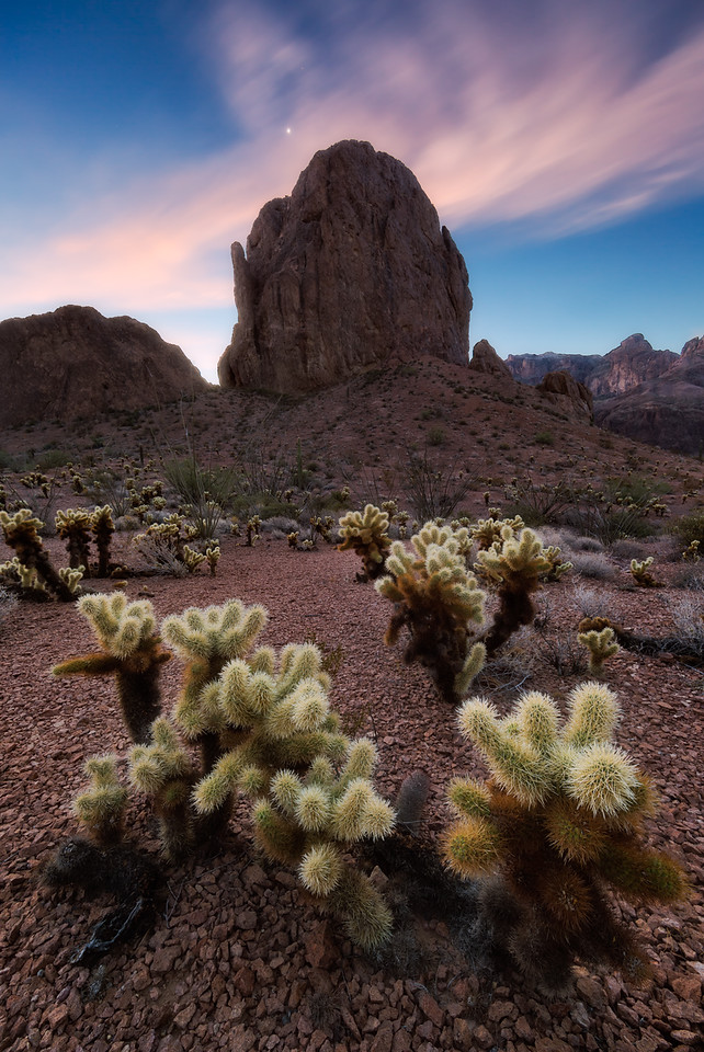 Cholla at Dawn