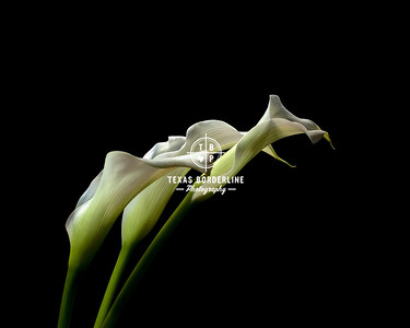 Calla Lillies_in color