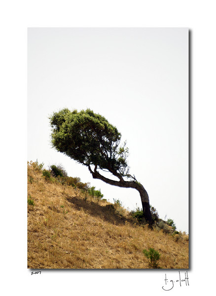 Hillside Tree, Giagone