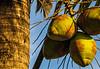 120630 - 0195 Coconut Sunrise - Miami, FL