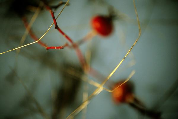 blurry rosehip