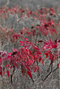 Smooth sumac (reds)<br /> Kansas.