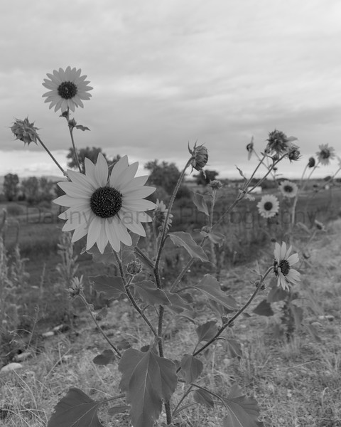 Late summer sunflowers<br /> Colorado