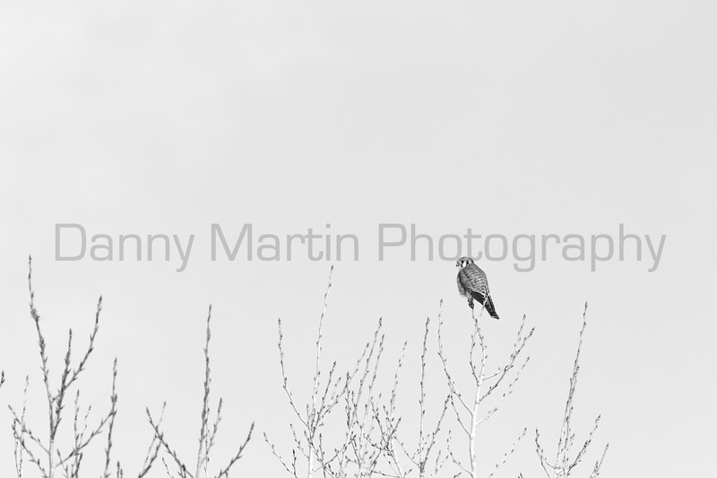 American Kestrel (high-key)<br /> Larimer County, Colorado