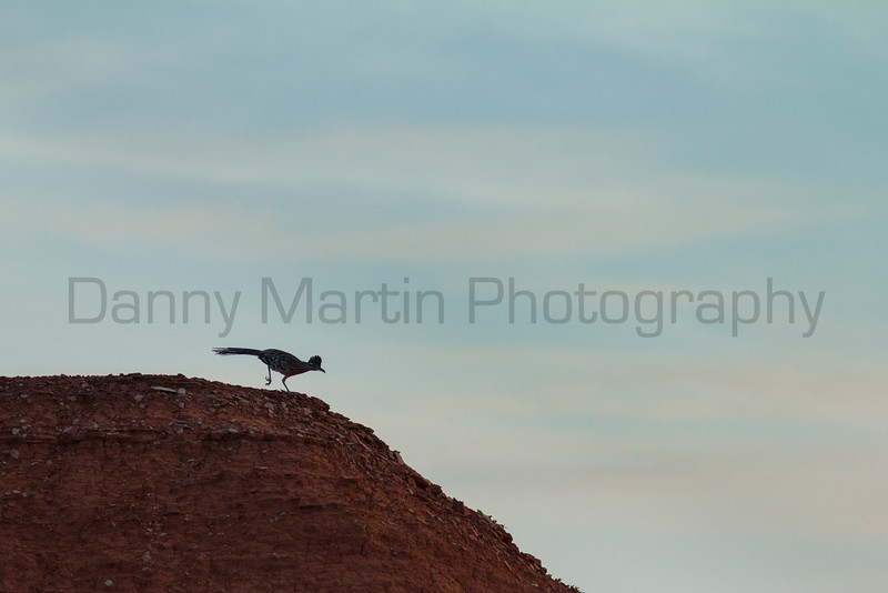 Greater Roadrunner at sunrise<br /> Briscoe County, Texas.