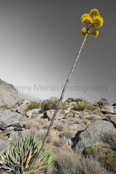 Yucca in bloom.  Anza-Borrego Desert State Park, California.