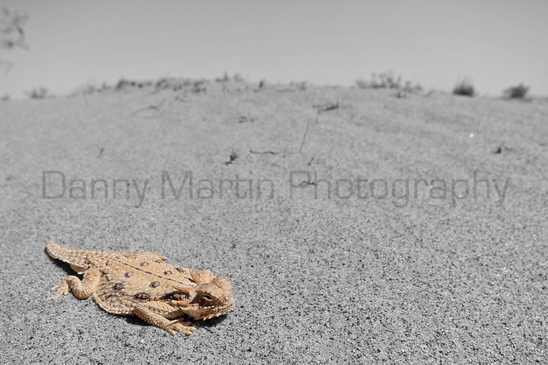 Flat-tailed Horned Lizard<br /> Imperial County, California