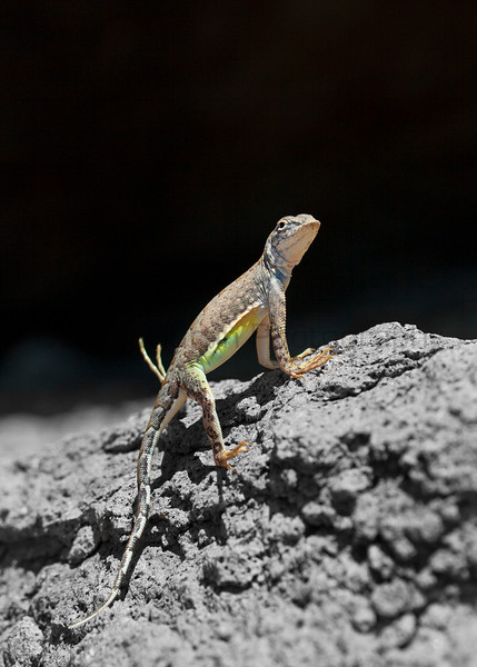 Greater Earless Lizard (female; background color removed)<br /> Big Bend National Park, Texas.