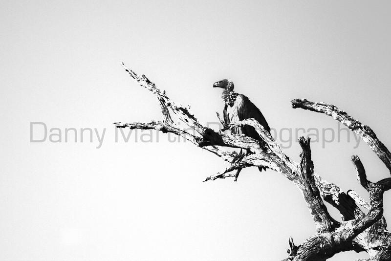 Lappet-faced Vulture<br /> Kruger National Park, South Africa