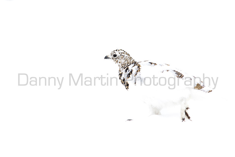 White-tailed Ptarmigan (high-key)<br /> Clear Creek County, Colorado