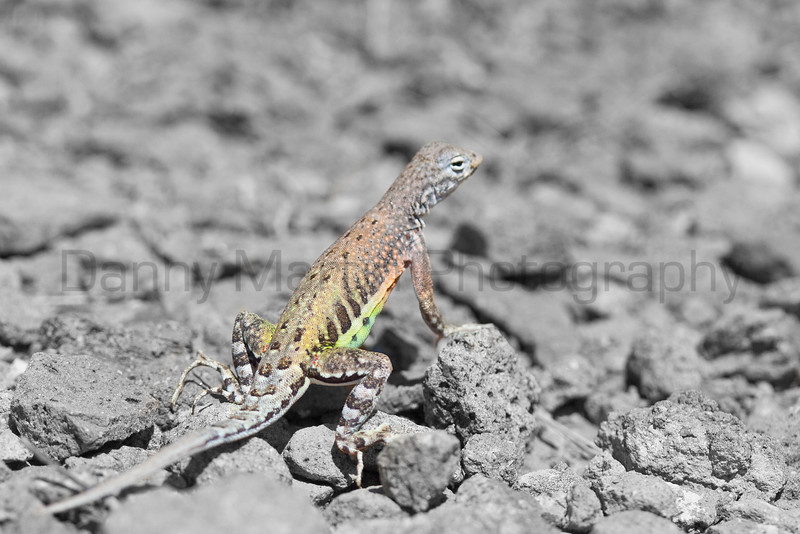 Greater Earless Lizard (male; background color removed)<br /> Big Bend National Park, Texas.