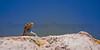Side-blotched Lizard<br /> Hovenweep National Monument, Utah