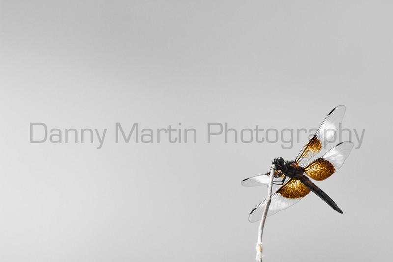 Widow Skimmer (browns)