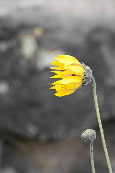 Sunflower in the prairie breeze.  Comanche National Grassland, Colorado.