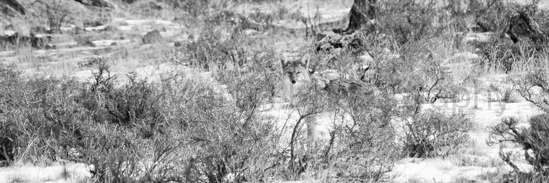 Winter Coyote, #1