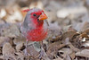 Pyrrhuloxia<br /> Pima County, Arizona.<br /> *reds and oranges